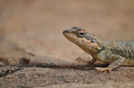 Desh Videsh - Lizard in MDM