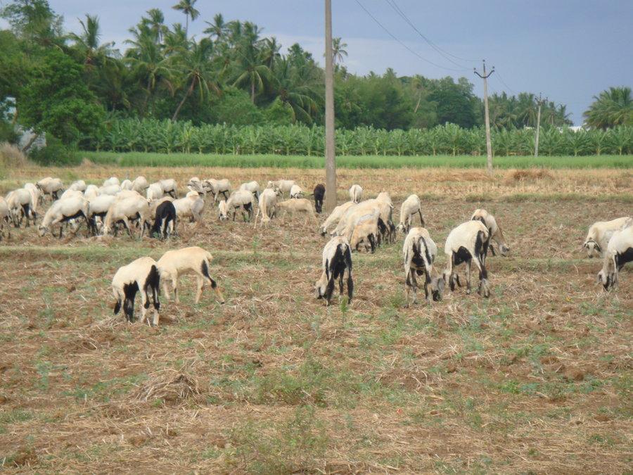 anna pratha goats