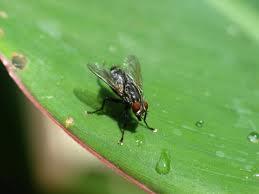 खाने पर बैठती मक्खियों से फैलता है डायरिया