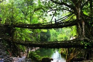 मेघालय के चेरापुंजी में एक पेड़ की जड़ों का पुल